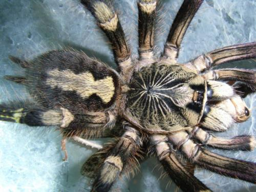 Poecilotheria subfusca 0.1 mit Beute